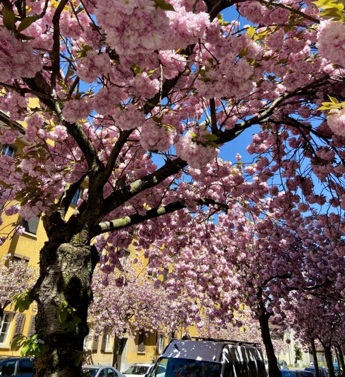 Cherry Blossom in Zurich